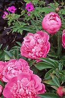 Paeonia (Peony) flower (perennial) .