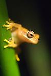 Monteverde, Costa Rica; Hourglass tree frog (Hyla ebraccata) , Copyright © Matthew Meier, matthewmeierphoto.com All Rights Reserved