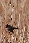 Red-winged Blackbird, North Dakota.