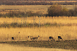 Whitetails feeding in a field (Crex Meadows, Wisconsin).