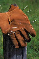 PORCUPINE quills in leather glove..Autumn. Rocky Mountains..Erethizon dorsatum.