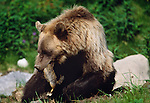 Grizzly or brown bear with catch of a ground squirrel, Glacier National Park, Montana