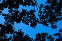 Looking up at an English Oak {Quercus robur} woodland canopy. Cambridgeshire, UK. September.