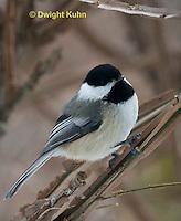 1J04-574z  Black-capped Chickadee,  Poecile atricapillus or Parus atricapillus