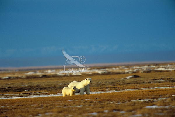 Polar Bears--sow with cub walking across tundra, Arctic National Wildlife Refuge, Alaska.  Oct.