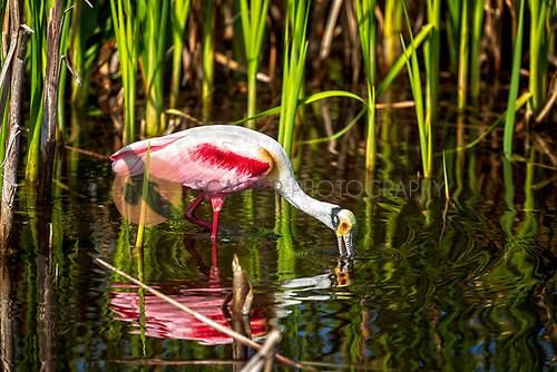 Roseate Spoonbill wading, feeding with bill in water