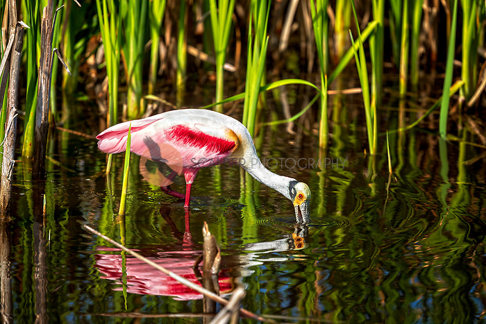 Roseate Spoonbill in water, feeding with spoonbill in water