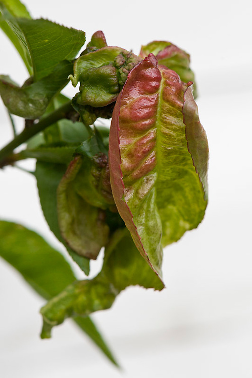 Peach leaf curl, early May. A rain-borne fungal infection that causes leaves of peaches and nectarines to curl, blister, and turn orange-red or even purple.