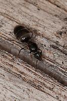 Wegameise, Gartenameise, Wiesenameise, Königin, Weg-Ameise, Garten-Ameise, Lasius spec., field ant, black ant
