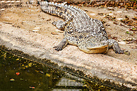 Crocodile in the zoo