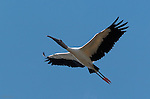 Wood Stork in Flight Sanibel Island Florida