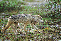Gray wolf walks across the summer tundra in a light rain, Denali National Park, Alaska