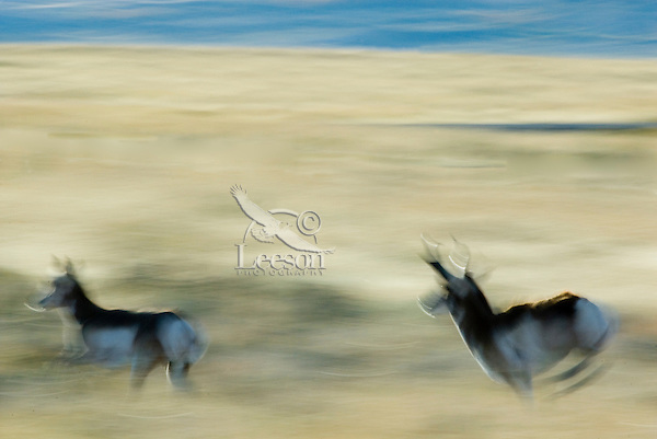 Pronghorn Antelope (Antilocapra americana)--buck chasing doe during fall rut.  He is attempting to herd her back to his harem.  A common activity during the rut.