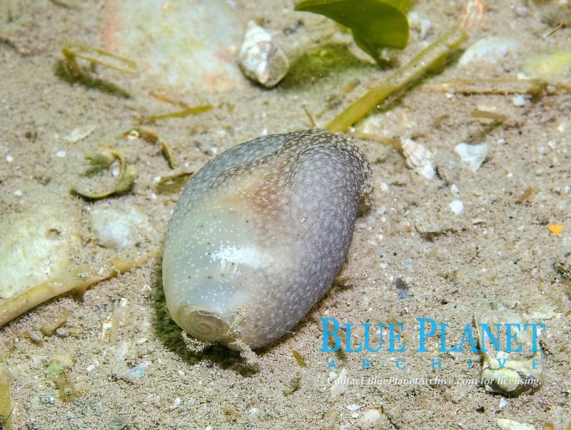 Short Bubble Snail, Liloa brevis, a type of Opisthobranch which include nudibranchs. This specimen was found foraging in the sand at night. They have a small transparent shell, Coffin Bay, South Australia, Australia, Southern Ocean