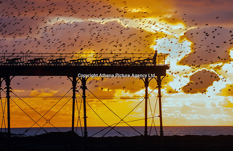 Aberystwyth, Wales, UK 24th February 2016.  UK Weather: The starlings return to their nightly roost under the victorian pier just before sunset. A lone bird watcher stands at the end of the pier watching as they dance above during the sunset after another gorgeous day by the seaside.