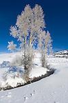 Hoarfrost on Cottonwood Trees, Lamar Valley, Yellowstone NP, WY, USA