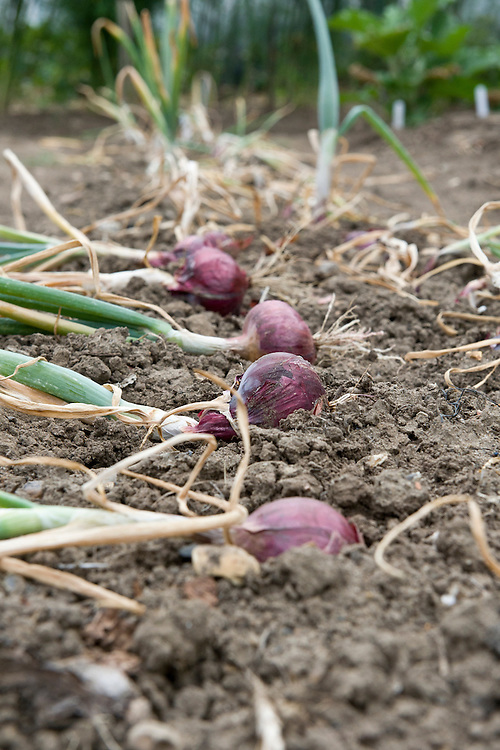 Lay onions on the ground to dry in the sun for a few days before bringing them indoors to store them. Mid July.