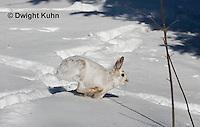 MA19-554z  Snowshoe Hare running on snow,  Lepus americanus