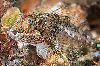 smoothhead sculpin, Artedius lateralis, Fox Island, Puget Sound, Burien, Washington, USA, Salish Sea, Pacific Ocean