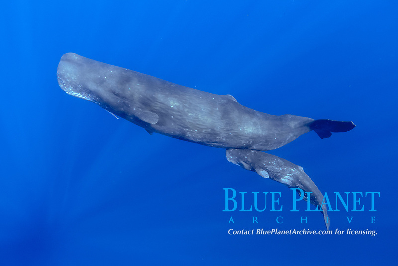sperm whale, Physeter macrocephalus, mother and calf, mother with a piece of deep sea giant squid tentacle, Chichi-jima, Bonin Islands, Ogasawara Islands, Natural World Heritage Site, Tokyo, Japan, Pacific Ocean