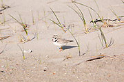 Piping Plover - Charadrius melodus - at Hampton Beach State Park during the spring months. Located in Hampton, New Hampshire USA.