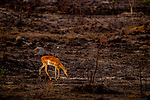 Impala (Aepyceros melampus) female grazing in burned savanna, Kafue National Park, Zambia