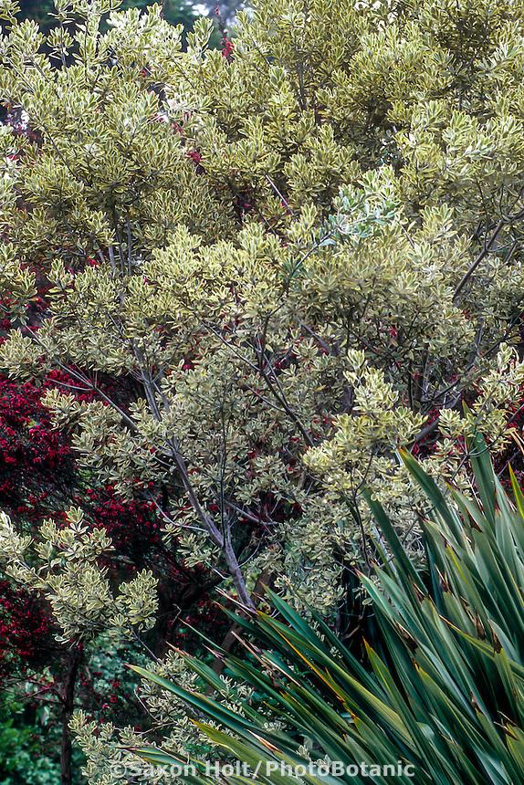 Pittosporum crassifolium 'Variegatum', large variegated foliage shrub in drought tolerant garden