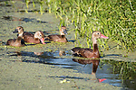 Damon, Texas; two adult parents and two juvenile black-bellied whistling ducks swimming amongst the green algae and reflecting in the slough at the edge of the reeds in early morning sunlight