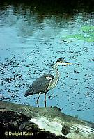 HN01-002z  Great Blue Heron - in pond in Maine - Ardea herodias