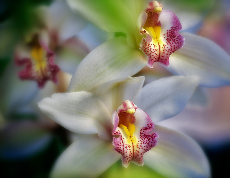 Cymbidium orchid. Oregon Coast Greenhouses, Oregon.