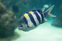 Indo-Pazifischer Feldwebelfisch, Indopazifischer Feldwebelfisch, Indo-Pazifischer Sergeant, Indo-Pazifiik Sergeant, Abudefduf vaigiensis, Indo-Pacific Sergeant, Riffbarsche, Pomacentridae