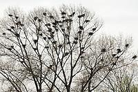 Saatkrähe, Saat-Krähe, Krähe, Krähen, Kolonie, Nester, Nestkolonie, Krähenkolonie, Corvus frugilegus, Rook, Corbeau freux