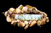 Köcherfliege, Larve, Rhyacophila spec.,
