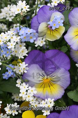 Gisela, FLOWERS, BLUMEN, FLORES, photos+++++,DTGK2472,#f#, EVERYDAY
