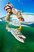sport fishermen releasing a large great barracuda, Sphyraena barracuda, caught by fishing in flats, Stiltsville, Biscayne National Park, Miami, Florida, USA, Caribbean Sea, Atlantic Ocean Ocean