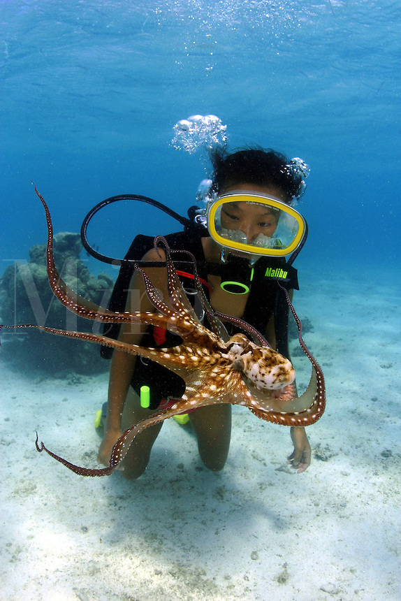 This diver (MR) is getting a close look at a day octopus, Octopus cyanea. Rarotonga, The Cook Islands.