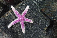 Müllers Seestern, Müllers-Seestern, Seestern, Leptasterias muelleri, Asterias muelleri, Asteracanthion muelleri, Northern starfish, Starfish, sea star