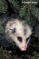 MA30-004z  Virginia Opossum - Didelphis virginiana