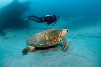 loggerhead sea turtle, Caretta caretta, scuba diver, and shipwreck, Curtin Artificial Reef shipwreck, Moreton Bay Marine Park, Brisbane, Queensland, Australia, South Pacific Ocean