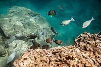Whitebar surgeonfish and other fish feed along the reef at Shark's Cove, North Shore, O'ahu.
