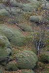 Iceland , birch (betula sp.)