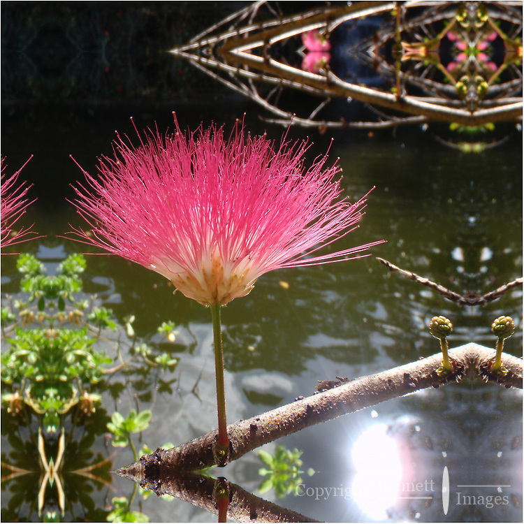 A shaving brush flower in full bloom at the Garden of the Groves in Freeport, Bahamas.