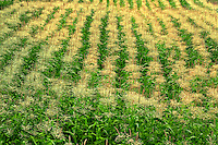 Rows of corn on Sauvie Island Oregon