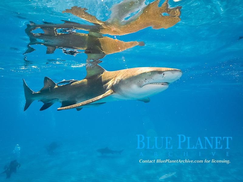 lemon shark. Negaprion brevirostris, with remora, sharksucker, Bahamas, Atlantic Ocean