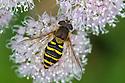 Hoverfly (Syrphus ribesii) Nordtirol, Austrian Alps, Austria, July.