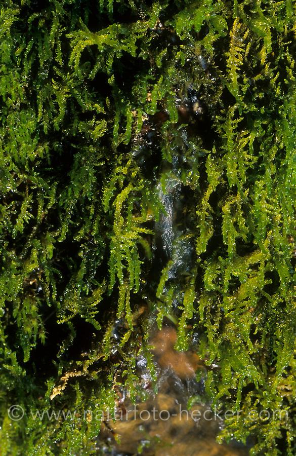 Bauchiges Birnmoos, Bryum pseudotriquetrum, Bryum ventricosum