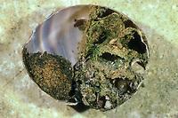 Goldene Schneckenhausbiene, Goldene Schneckenhaus-Biene, Osmia aurulenta, Helicosmia aurulenta, Gold-Fringed Mason Bee