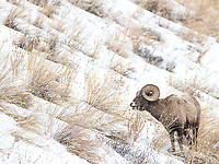 In the Lamar Valley, Bighorn rams often come down lower to graze closer to the road during winter.