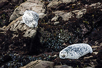 Two Harbor Seals on the rocks just offshore at Bean Hollow State Beach, California.  One is closely eyeing the camera while the other rests with eyes tightly closed.