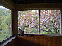 Cat sitting on ledge with flowering magnolia tree in background<br />